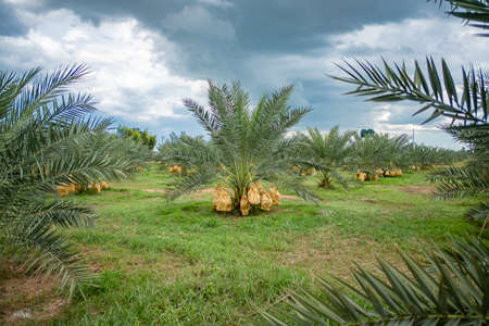 Palm trees with dates fruit in plantation in Thailand. 免版税图像