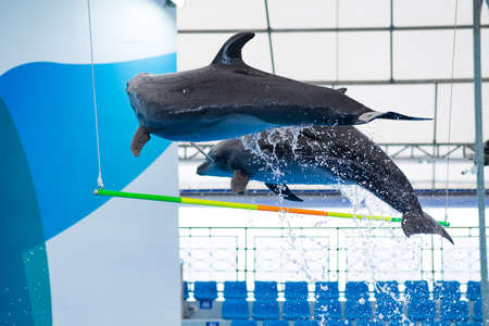 Two dolphins jumping over the bar in the show.