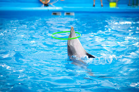 Clever dolphin hooping in the show. Dolphin show in Thailand.