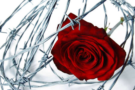 red rose under barbed wire on white background Stock Photo