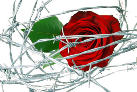 red rose under barbed wire on white background photo