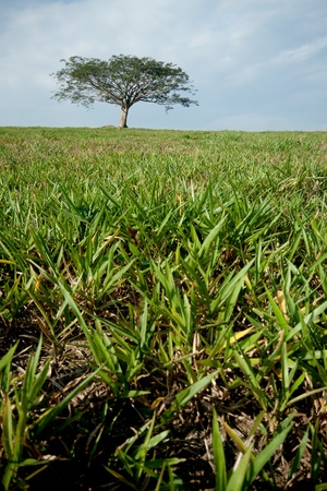 the green grass with isolated tree as background Stock Photo - 8299180