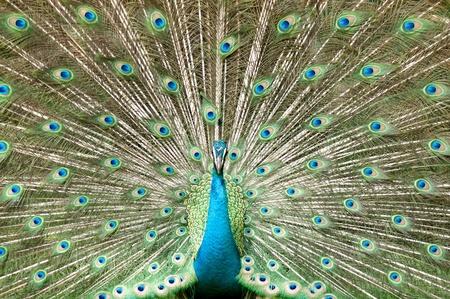 animal photo: a beauty of peacock