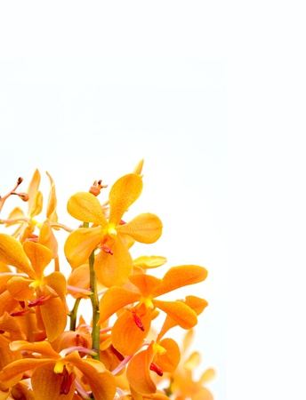 phal: isolated orchid in white background