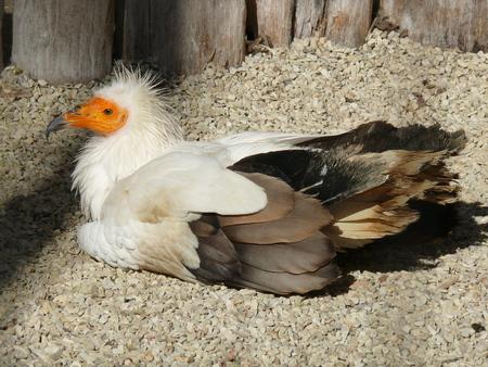 sitting palm vulture Banco de Imagens - 103251595