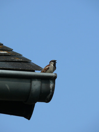Sparrow in the gutter