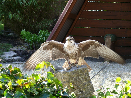 Lanner falcon with outstretched wings, Falco biarmicus 免版税图像