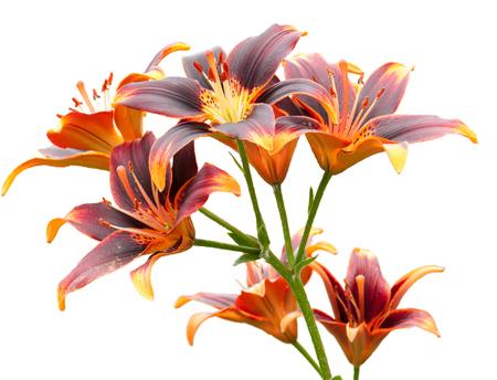 Lilies, orange-purple, free