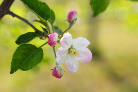 pink apple blossom and buds  photo