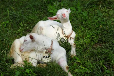sleeps: Kid goats sleeps on grass