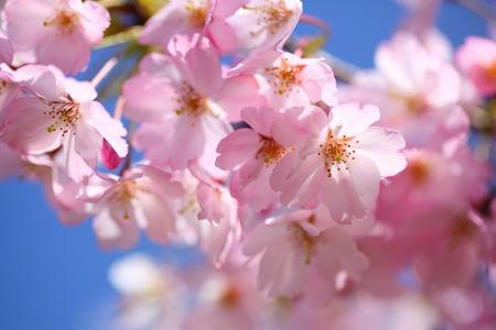 일본 벚꽃; ¬ â, ¬