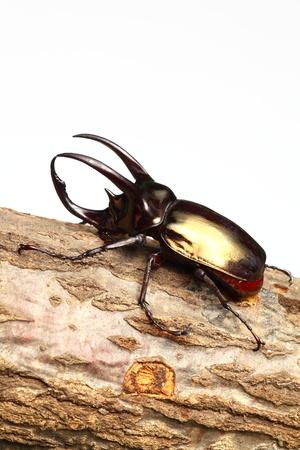 arthropoda: Atlas beetle on sawtooth oak
