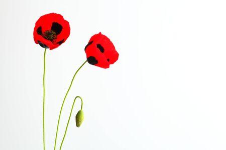 red poppyon white izolated background photo