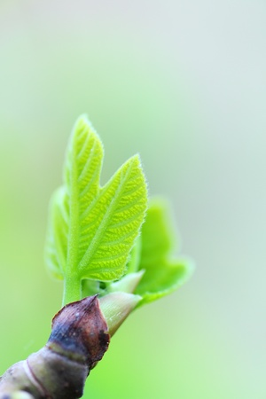 Bud of the fig tree photo