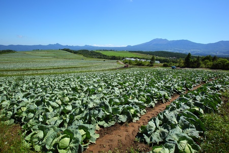tableland: Mountain and cabbage field in japan