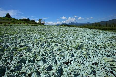 Konjac field and blue sky in japan