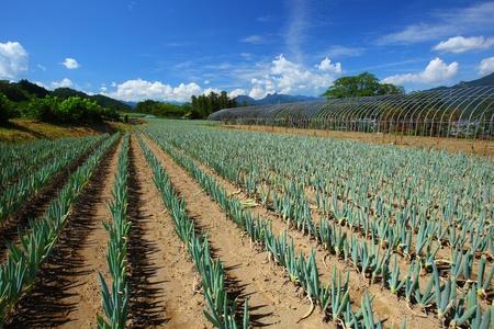green onion field in japan