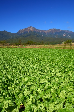 bracing: Vegetable field and mountain in japan