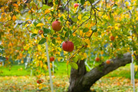 Ripe red apple on tree, japanese apple  photo