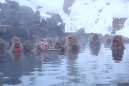 onsen: Snow monkey in hot spring, Jigokudani, Nagano, Japan