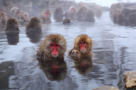 hot spring: Snow monkey in hot spring, Jigokudani, Nagano, Japan