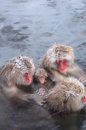 Snow monkey in hot spring, Jigokudani, Nagano, Japan  photo