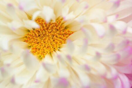 macro photo: Macro photo of Chrysanthemum flower