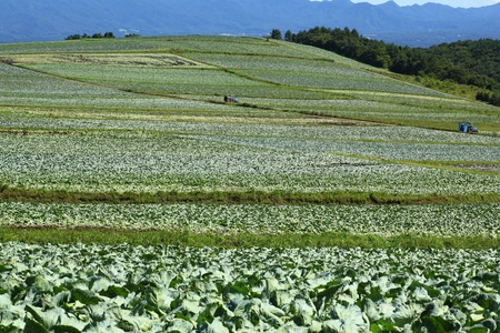 Mountain and cabbage field in japan photo