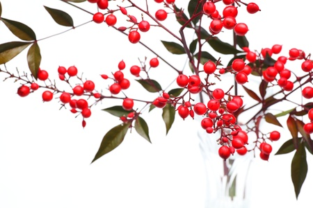 ripen: Nandina domestica  red berries of Japanese Sacred Bamboo