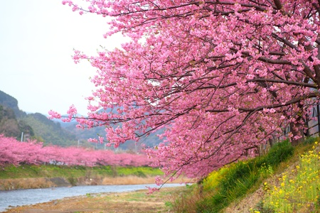 kersenbloesem: Roze kersenbloesem, Kawazu kersenboom in Shizuoka, Japan,
