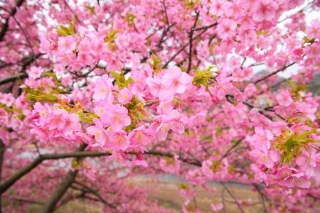 Pink cherry blossom, Kawazu cherry tree in shizuoka japan photo