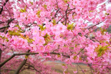 Pink cherry blossom, Kawazu cherry tree in shizuoka japan 版權商用圖片