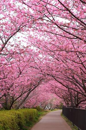 arbol de cerezo: Camino de Sakura, Kawazu cerezo en Shizuoka, Japón Foto de archivo