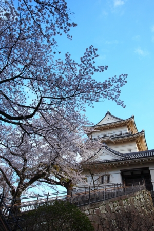 Odawara Castle and cherry blossom in japan