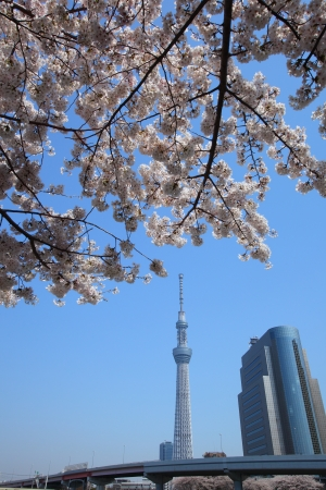urban redevelopment: Tokyo sky tree and cherry blossom in japan Editorial