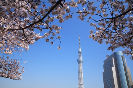 Tokyo sky tree and cherry blossom in japan