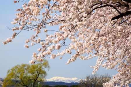 Cherry tree and snowy mountain in Japan