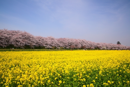 blossoming yellow flower tree: Rape blossoms and cherry tree in Saitama, Japan