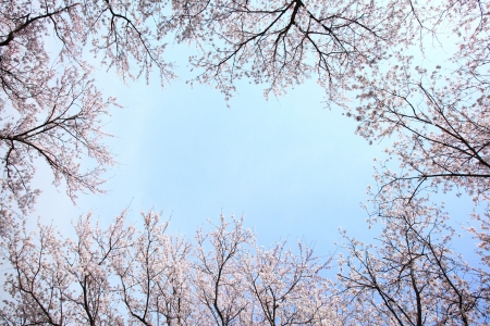 Cherry blossom frame on blue sky background  photo
