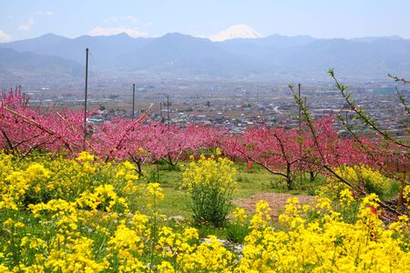 Rape blossoms and Peach tree, View of Mt  Fuji, Yamanashi, Japan photo