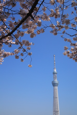 oshiage: Tokyo sky tree and cherry blossom in japan Editorial