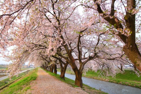 hokuriku: Cherry tree and causeway in spring, Toyama, Japan Stock Photo