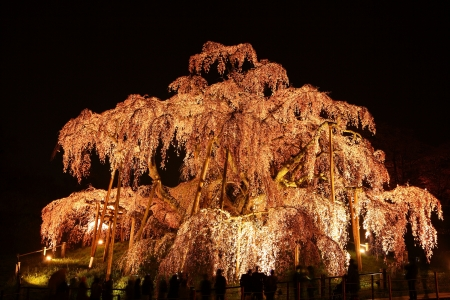 Illuminated cherry tree, Nema is MiharuTakizakura, Fukushima, Japan  photo