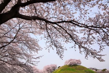 Cherry tree on the hill, Sakitama Kofun, Saitama, Japan 版權商用圖片