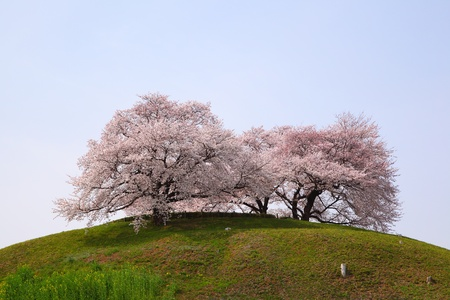 Cherry tree on the hill, Sakitama Kofun, Saitama, Japan photo