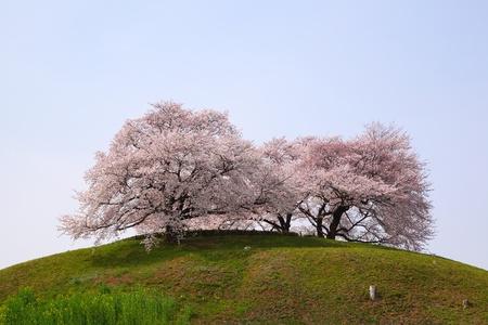 cherry blossom in japan: Cherry tree on the hill, Sakitama Kofun, Saitama, Japan Stock Photo