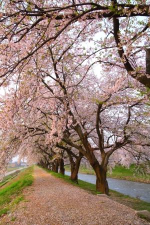 flor de cerezo: Cerezo y la calzada en la primavera, Toyama, Jap�n Foto de archivo