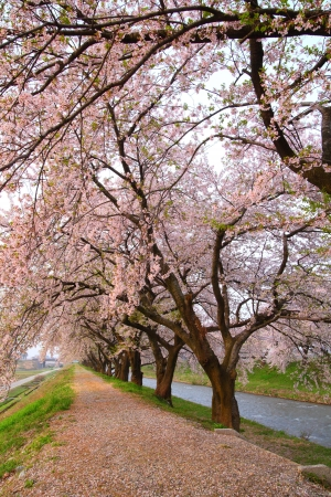 cherry blossom in japan: Cherry tree and causeway in spring, Toyama, Japan Stock Photo