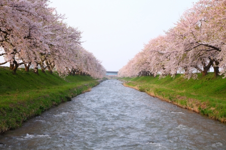river bank: Cherry tree and river in spring, Toyama, Japan Stock Photo