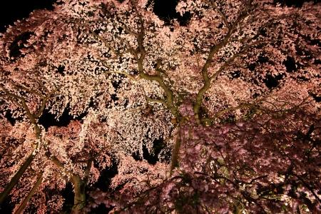 fukushima: Illuminated cherry tree, Nema is MiharuTakizakura, Fukushima, Japan  Stock Photo
